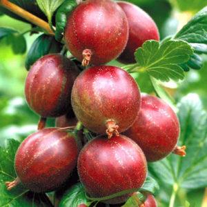 2. Arbuști fructiferi