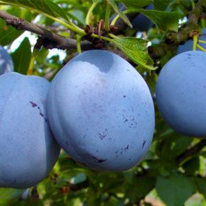 1. Pomi fructiferi